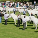 connemara-pony.jpg